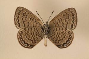 The Niue blue, the national butterfly of Niue